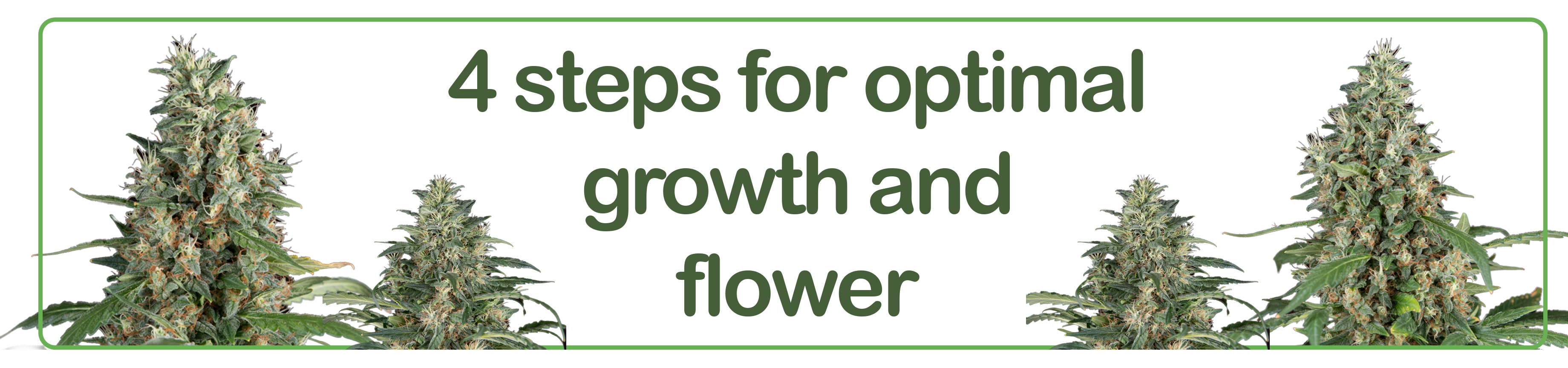 4 steps organic nutrients for optimal cannabis growth and flower