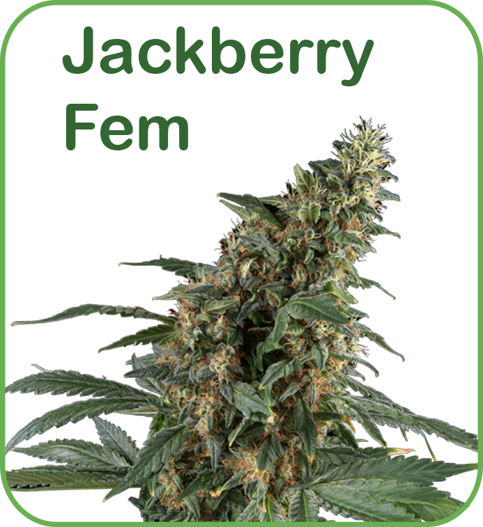 Jackberry feminized cannabis seeds