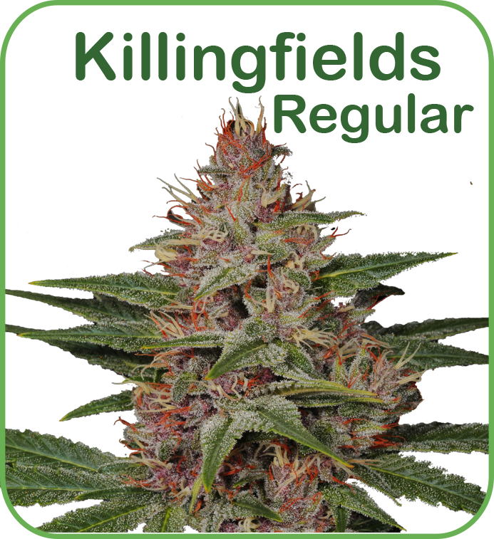 Regular cannabis killingfields seeds