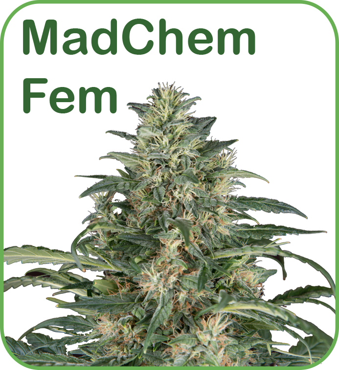 Madchem cannabis feminized seeds