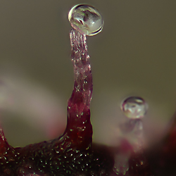 Jackberry coloured trichome macro