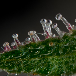 Jackberry feminized trichomes cannabis macro photo
