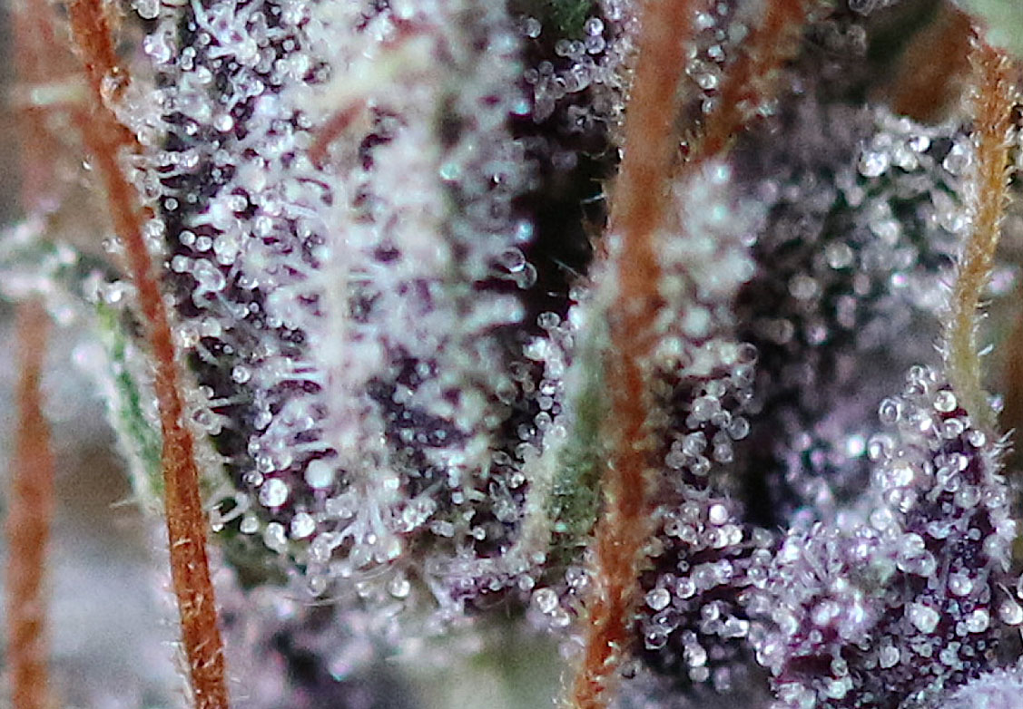 Atomic Jam trichome close up foto
