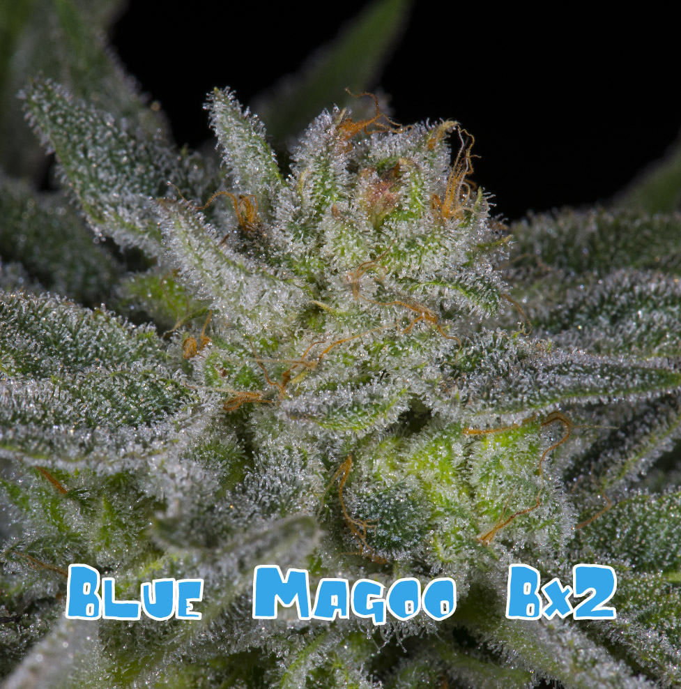 Blue Magoo smells like sweet berry, lavender, floral/rose