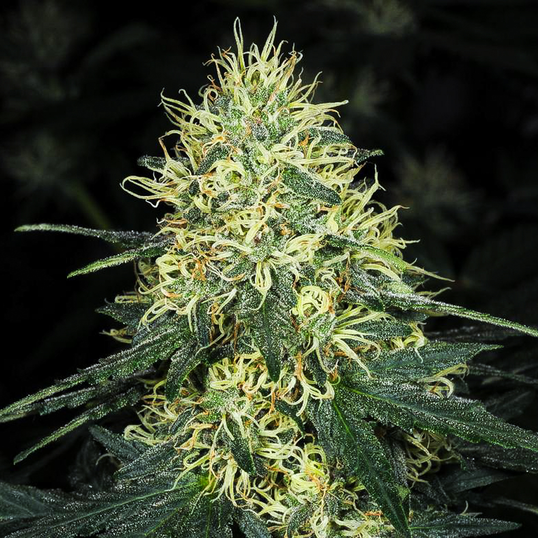 Herijuana regular seeds delivers potent and strong stoned to the bone weed