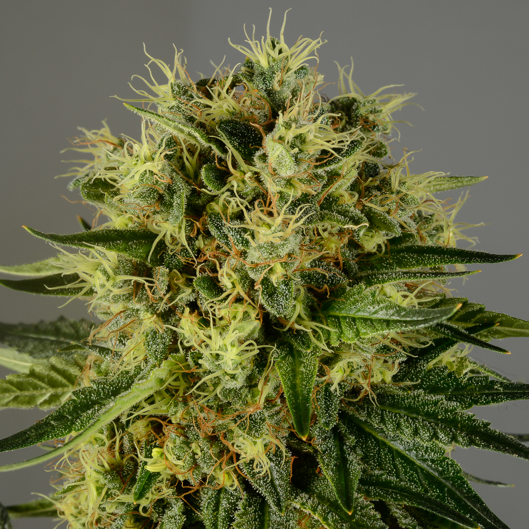 Motherlode kush is een indica dominante hybride