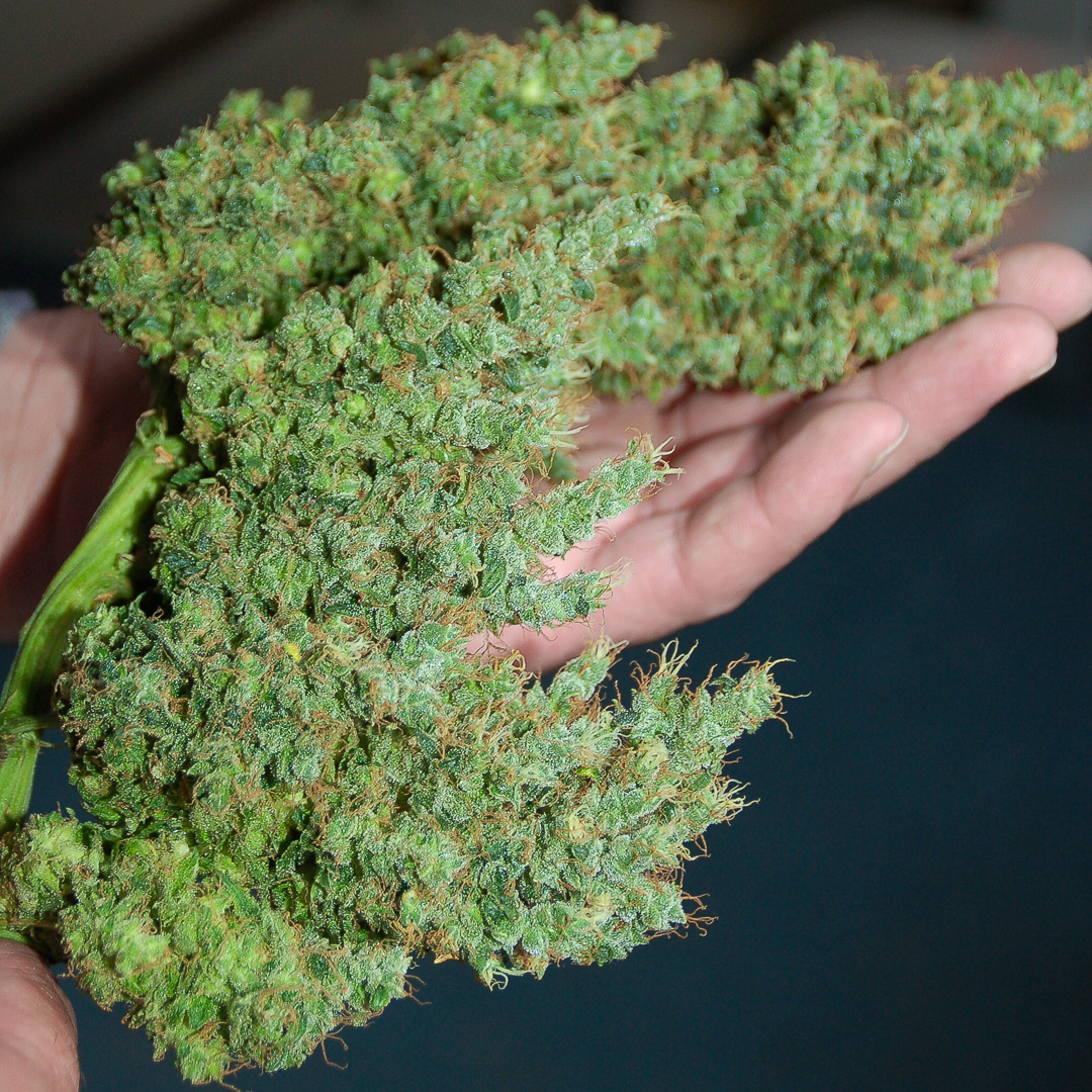 Sannie's jack just trimmed and ready to be dried
