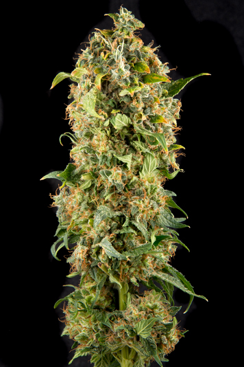 Selene bud shot, strong yield with dense buds