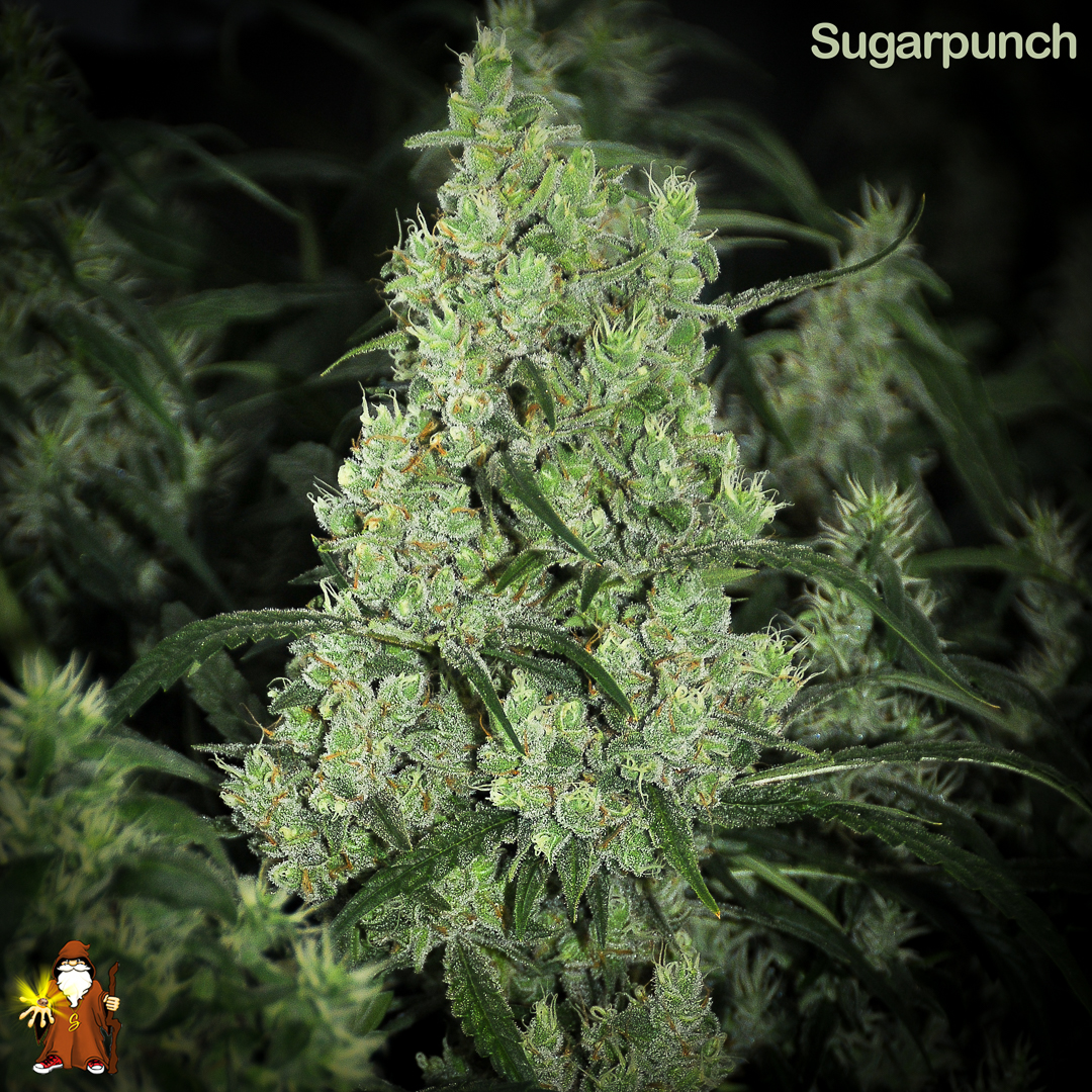 Sugarpunch main bud with lots of foxtails and big trichomes