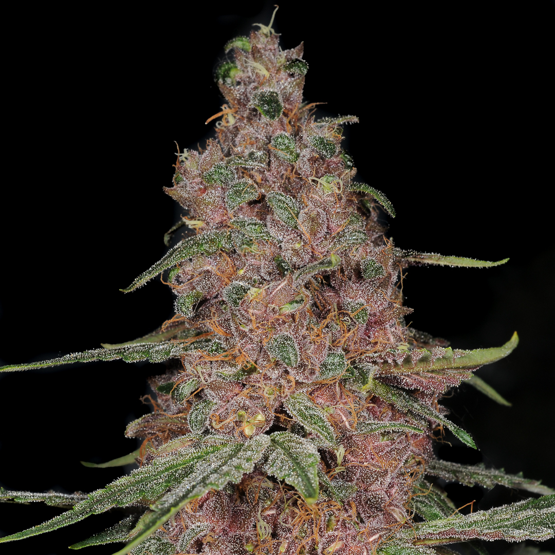 Sugarpunch Main bud purple pheno type with blueberry smell and taste  and coloured flowers