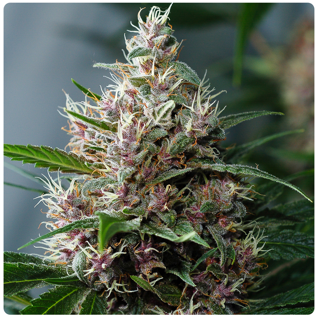 Killingfields bud with green leafs and purple flowers that produce big yield and complex tasting smoke