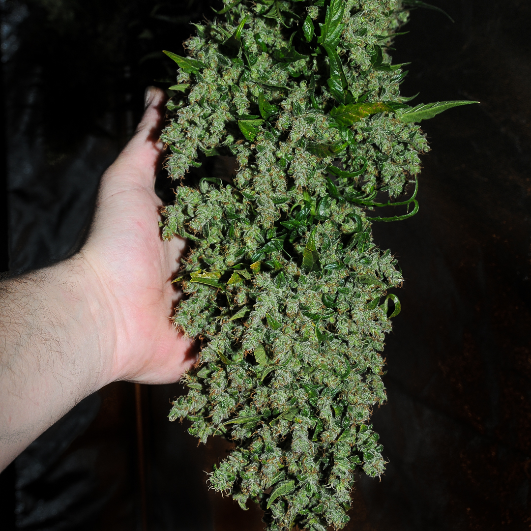 Killingfields green main bud as big as two hands with cream and diesel smell