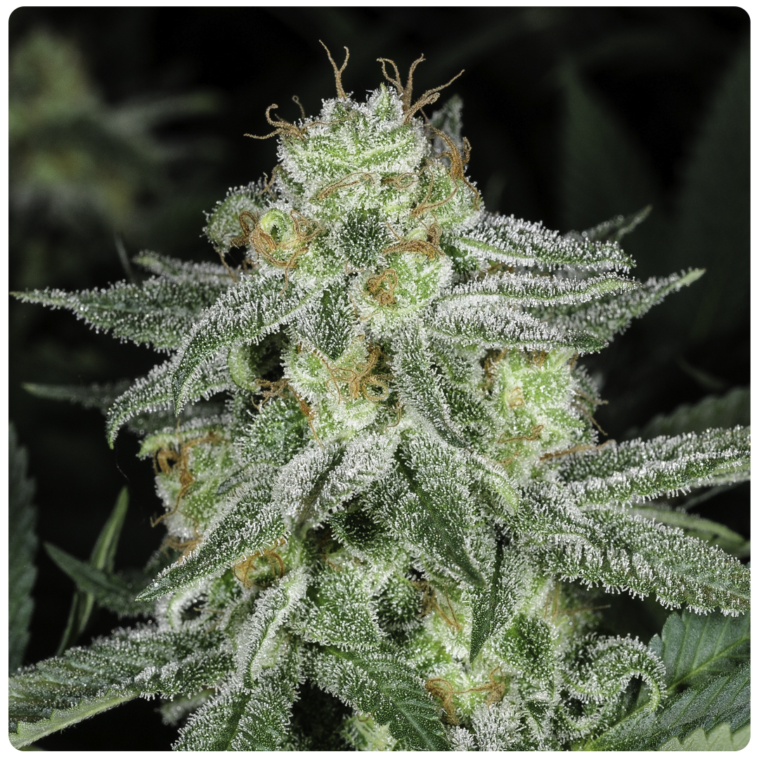 Madchembud covered in trichomes rich in thc and cbd, gives a strong stoned with a hint of high