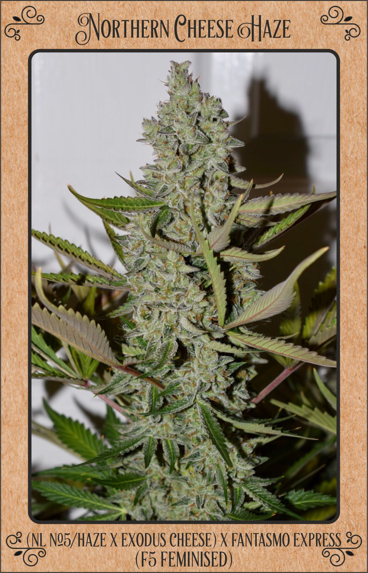Northern cheese haze auto flowering hybrid from mephisto genetics