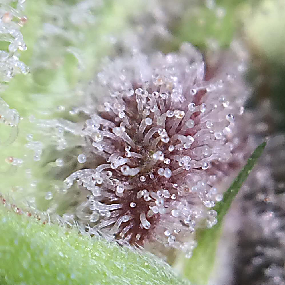 Peyote pancake trichomes colouring from transparant to purple