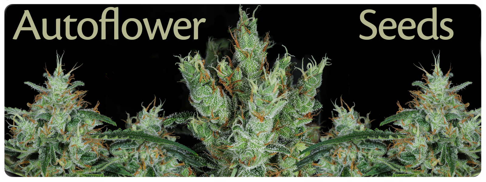 Autoflower seeds for a strong effect and harvest