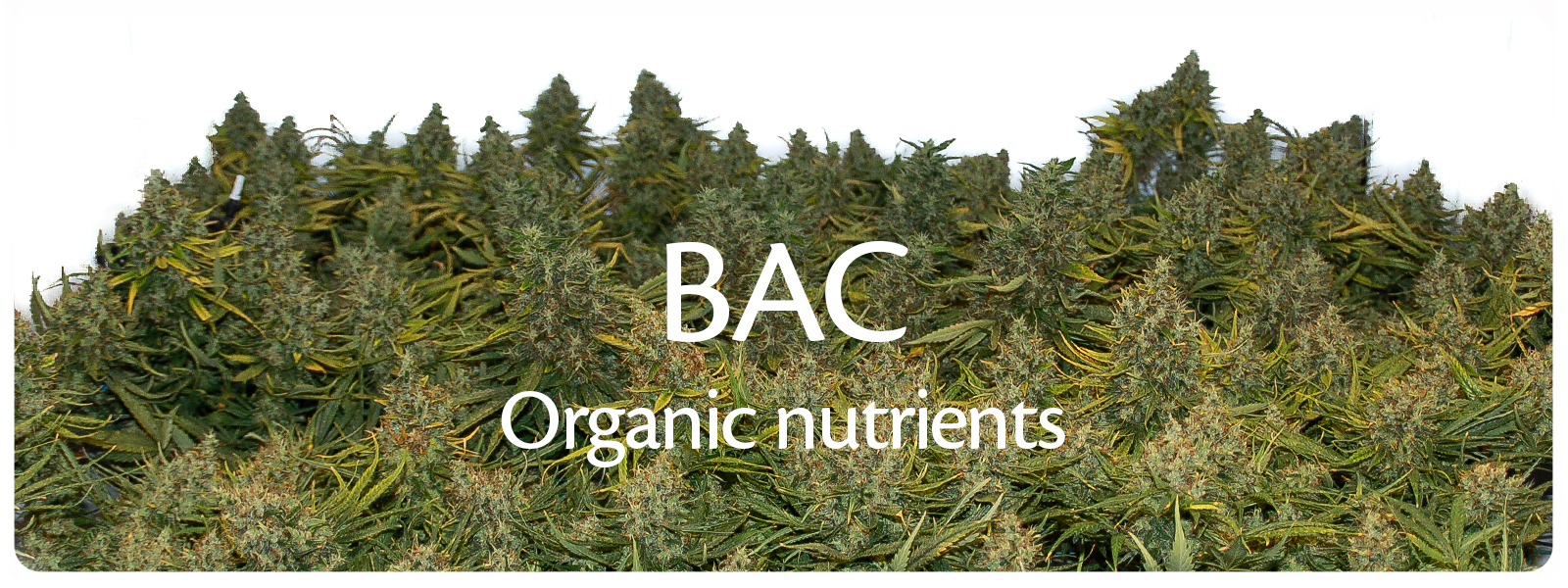 BAC biological fertilisers and soil life nutrients for strong and healthy cannabis plants