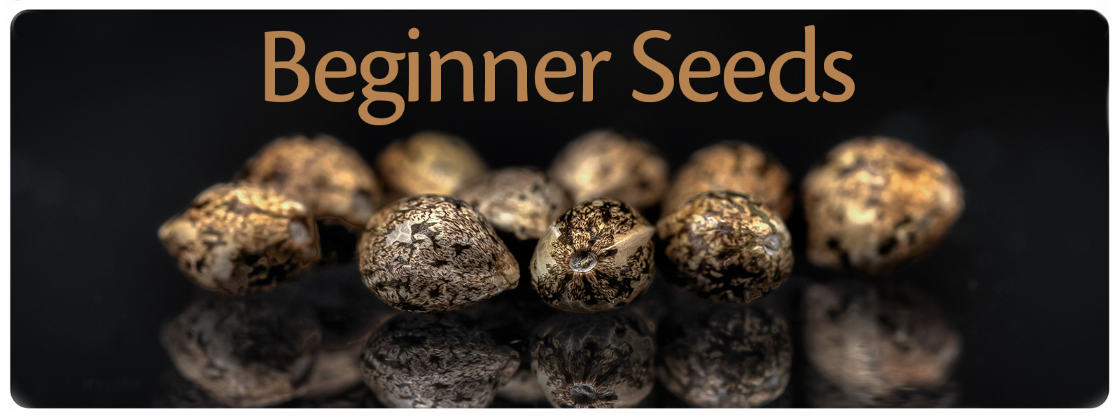 Beginner cannabis seeds for the grower that looks for easy to growing plants with strong yield and big buds