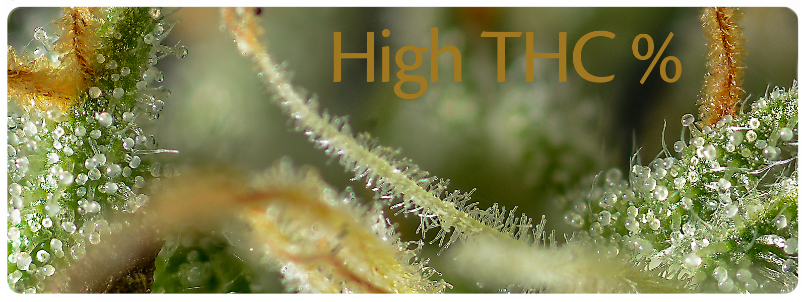 High THC strains in sanniesshop are some of the strongest on the cannabis market