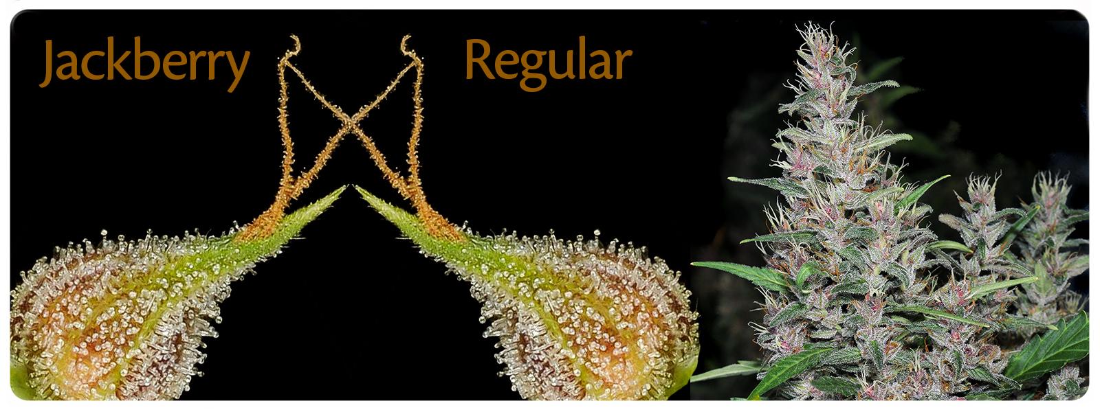 Jackberry reguliere cannabis voor de perfecte overdag high en sterke blueberry limoen geur en smaak