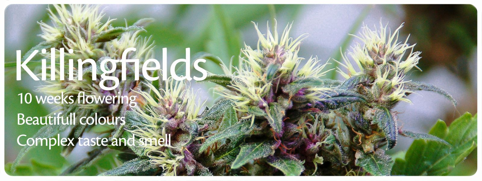 Killingfields feminized cannabis is a sativa dominant hybride with heavy buds and complex taste