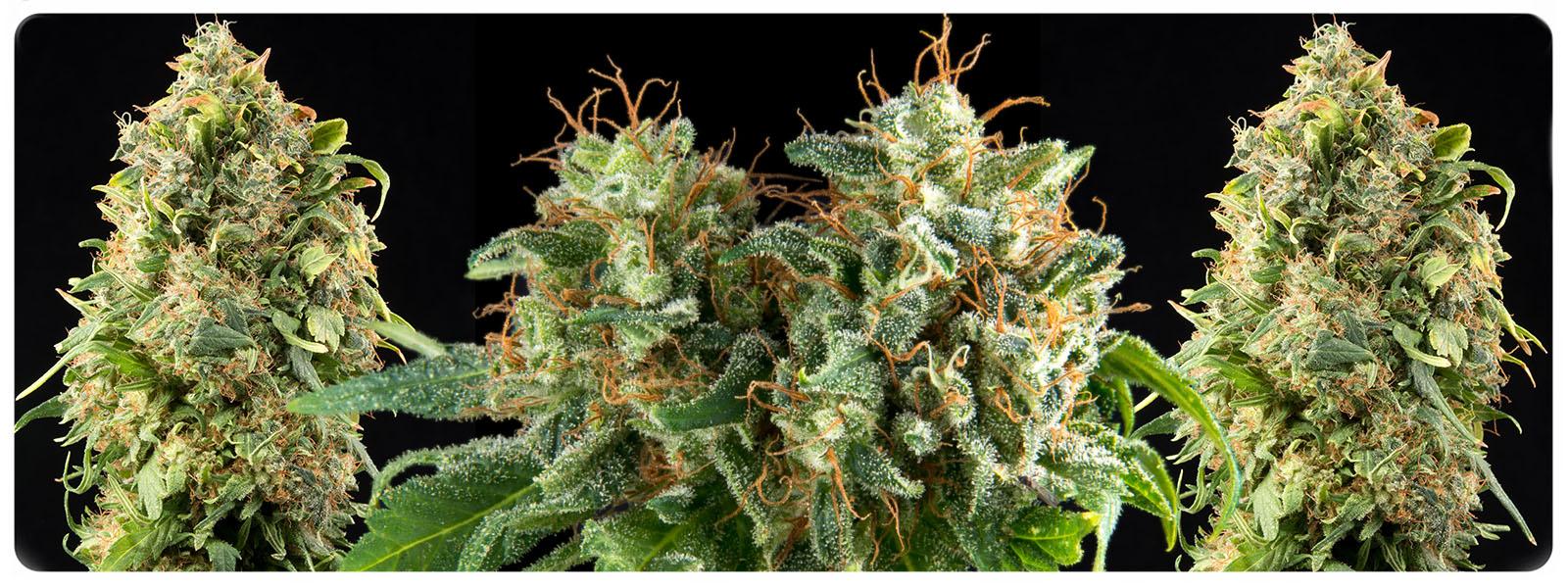 Kolossus feminized cannabis zaden is een soort welke een hoge opbrengst en potente buds met een limoen spijzige smaak