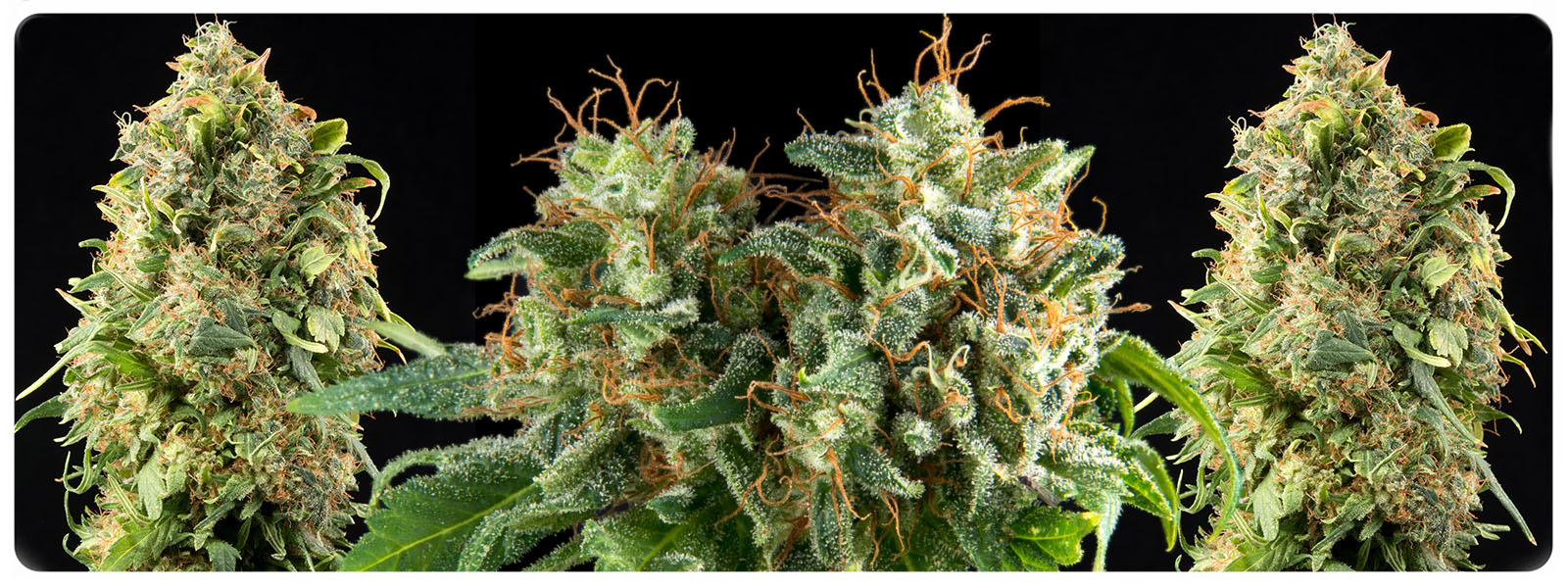 Kolossus feminized cannabis seeds for the high yield and spicy tasting buds