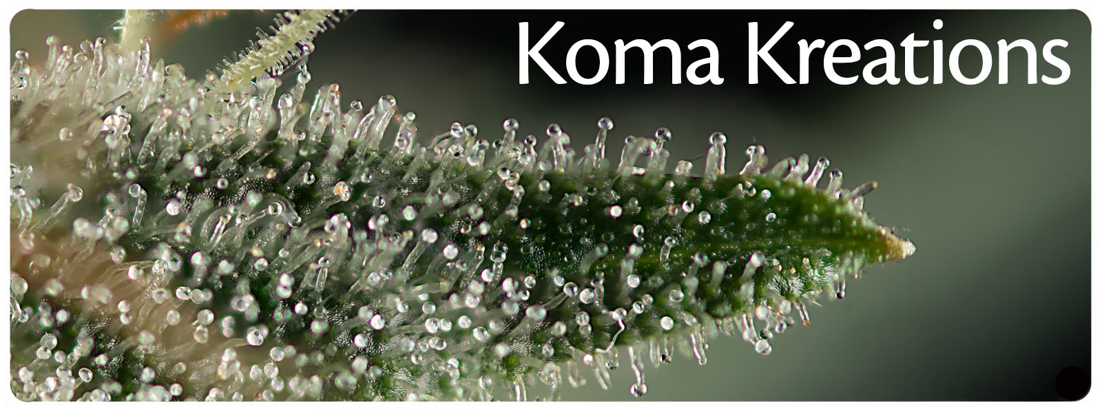 Koma kreations supplies medical hybrid cannabis seeds with old school genetics