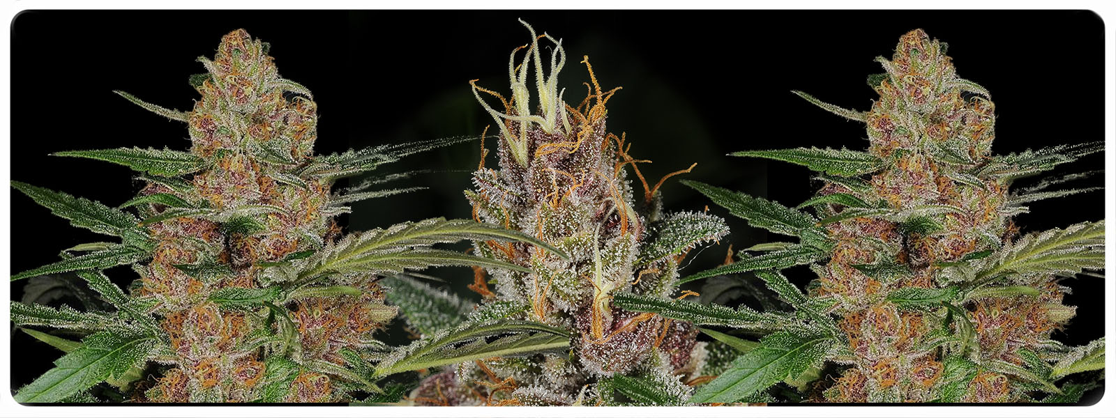 Madberry feminized cannabis seeds with indica and sativa influences, short flowering with strong effect