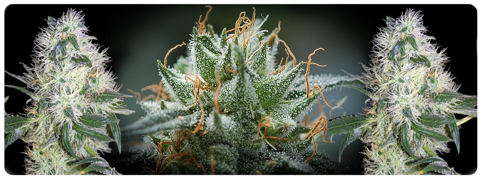 Madchem feminized cannabis seeds for medical ailments or just looking for high thc and cbd strain
