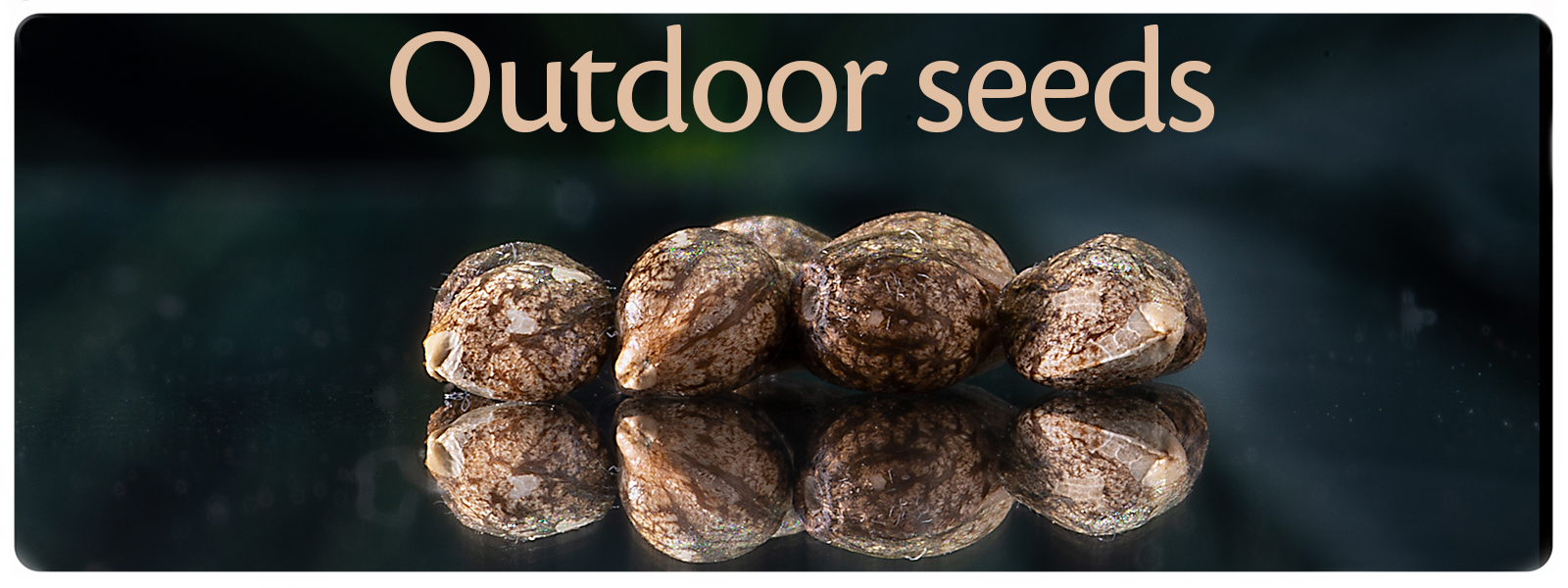 Outdoor cannabis seeds to get healthy and strong outdoor weed