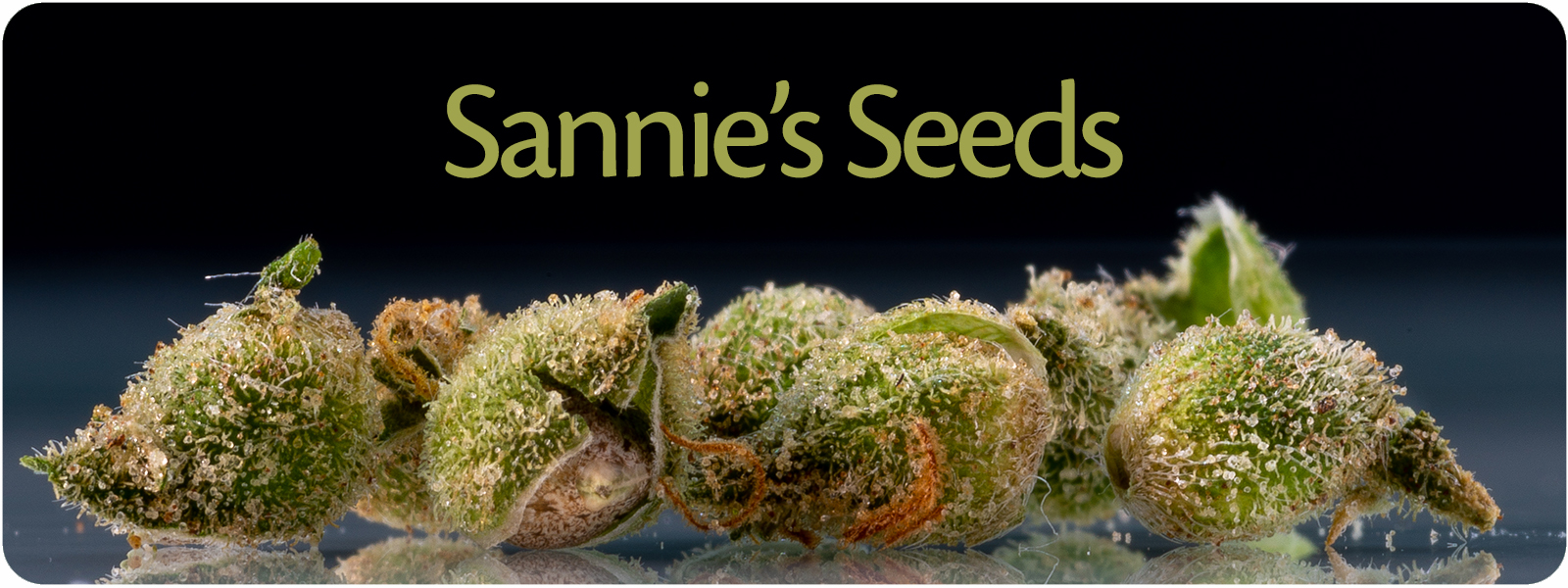 Feminized cannabis seeds belong to the strongest producing plants on the cannabis marked