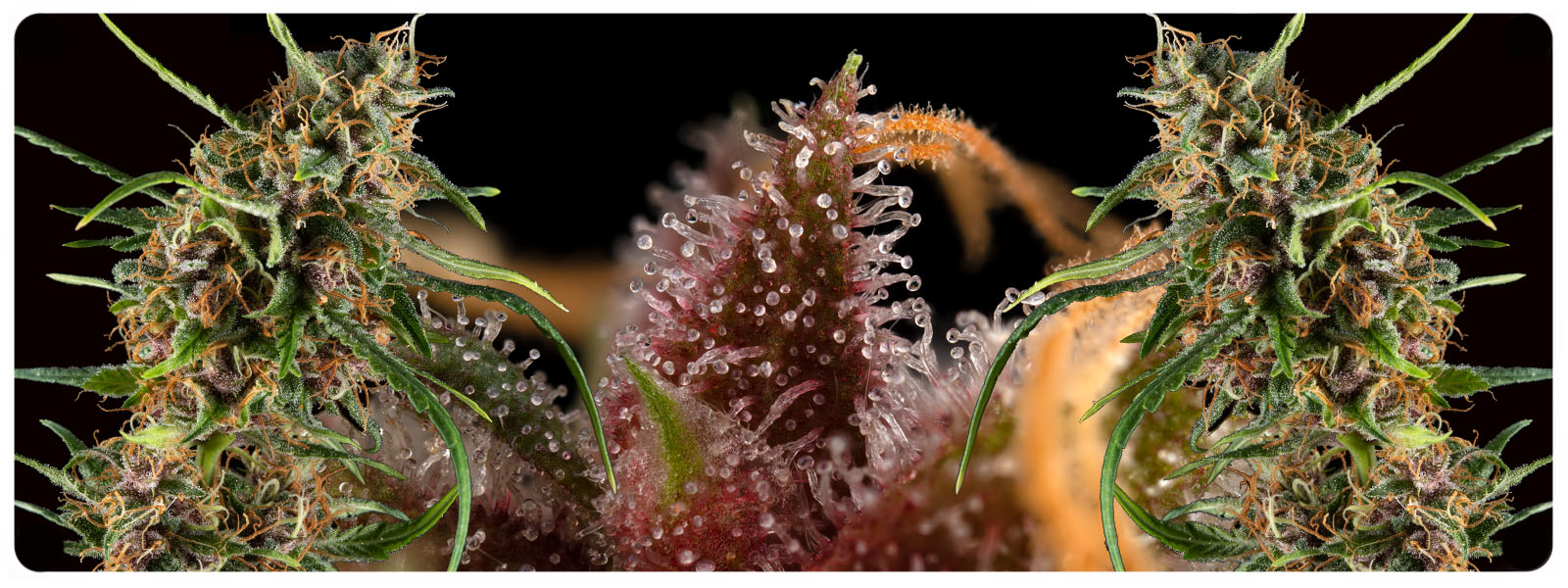 Selen bud full of colours and trichomes