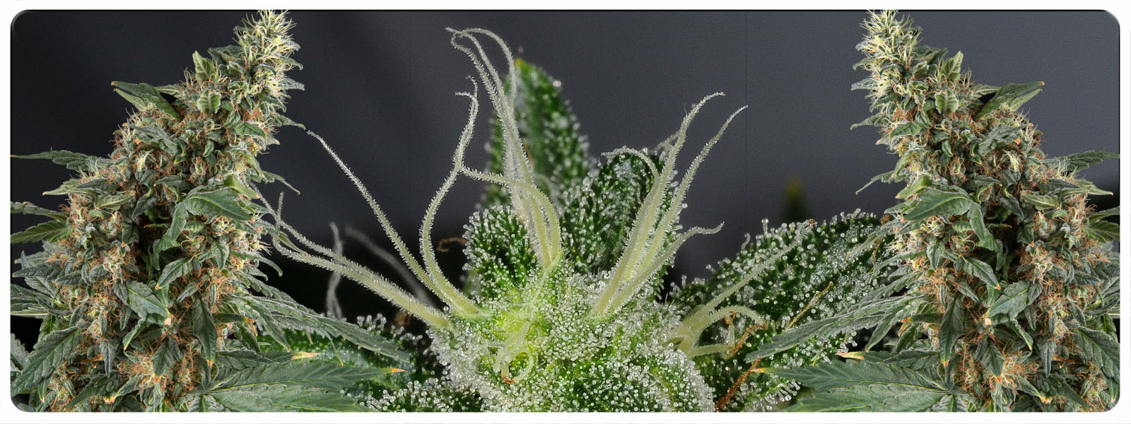 Silverfields is a regular cannabis strain that gives green and purple / pink flowers that are dripping from potency