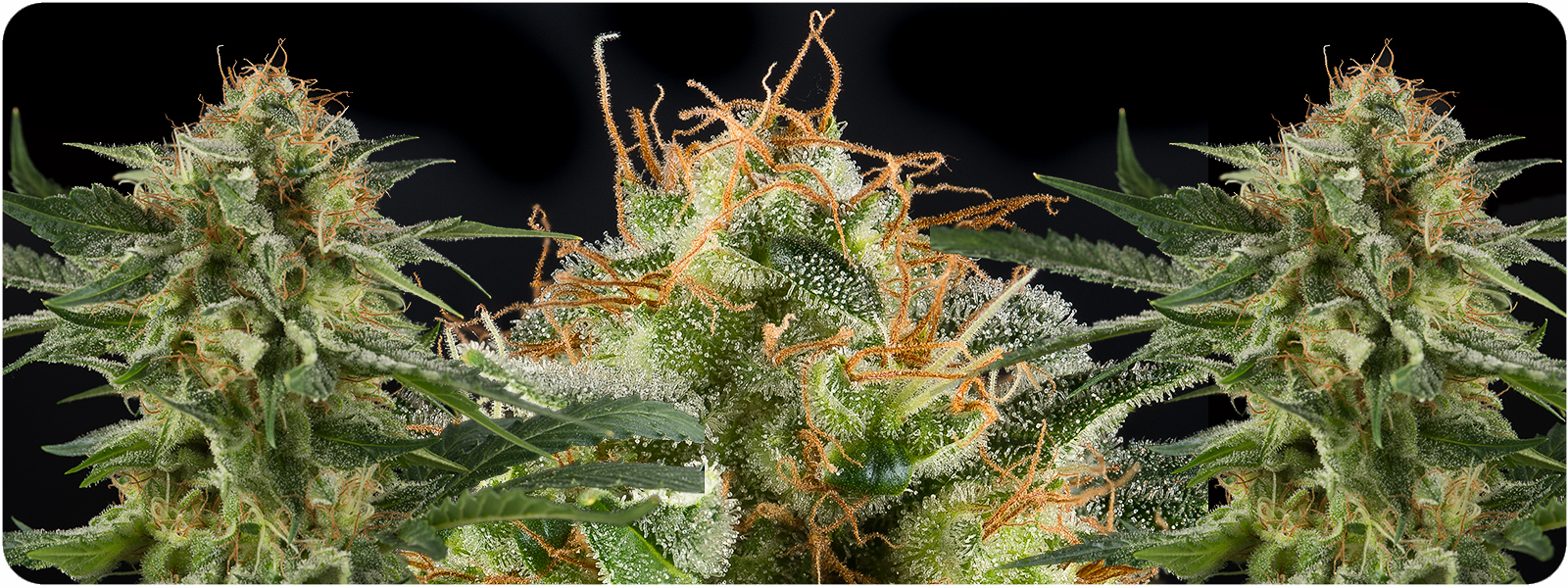 Sugarpunch seeds produces some of the strongest hybrids for sale with great taste and effect