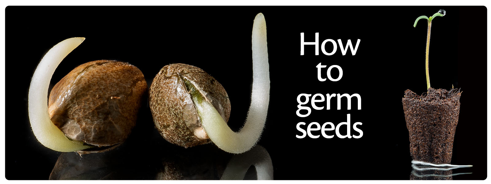 Tutorial what are the best ways to germinate your our cannabis seeds