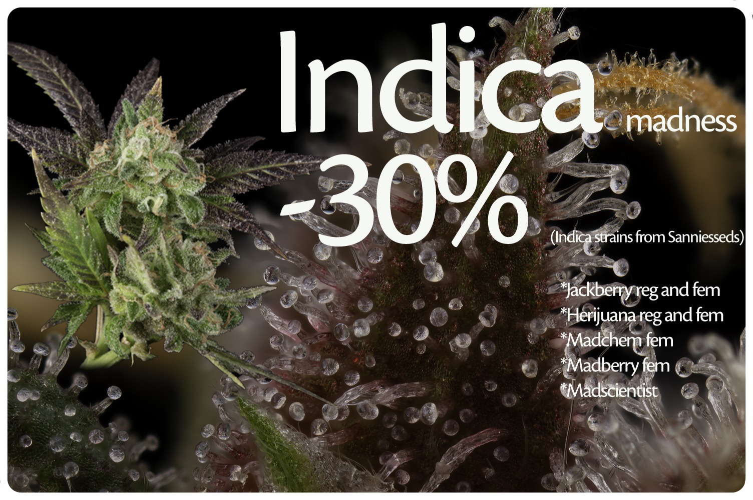 Sanniesseeds indica strains with 30% discount