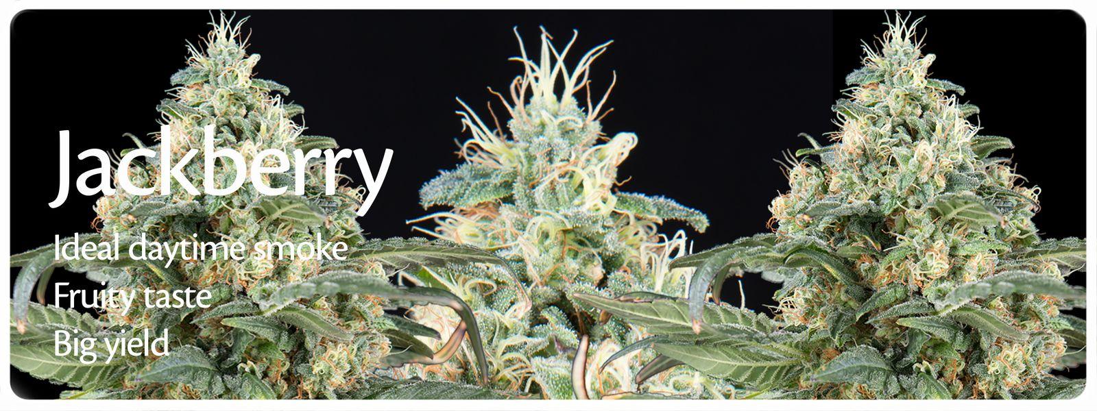 Jackberry cannabis zaden voor de kweker welke op zoek is naar kort bloeiende planten met gekleurde toppen en perfect overdag rokertje