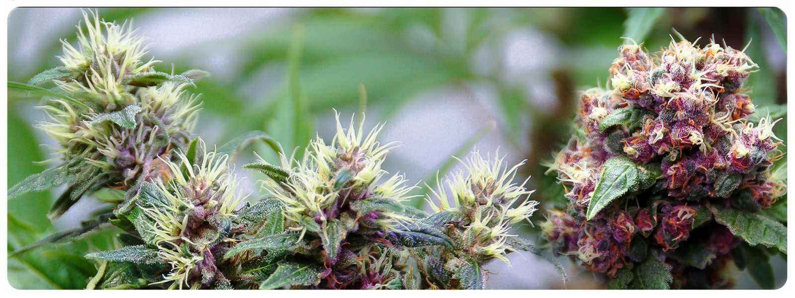Killingfields regular cannabis seeds for the strain hunters and oldchool genetic lovers