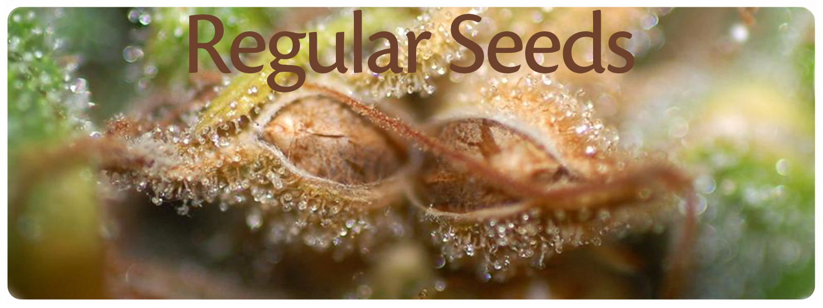 regular cannabis seeds from different breeders