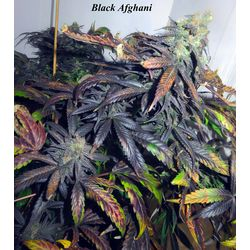 Black afghani landrace seeds with a powerful indica stoned with black shades