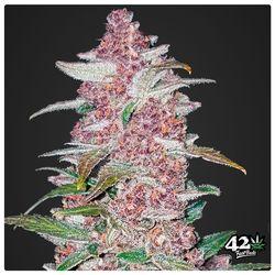 Blackberry hoofdbud met groene bladeren en paars/rose bloemen welke ruiken naar wilde bessen en zoet fruit