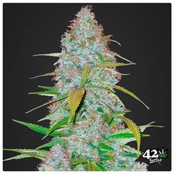 Californian snow feminized autoflower seeds from Fastbud genetics