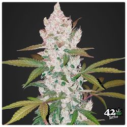 Girl scout coockies is powerful strain that is best suited for social smokers