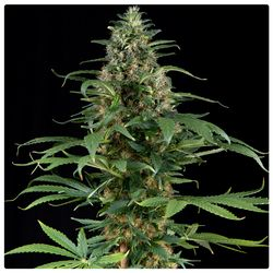 Motherlode kush main bud with dense and vigorous flowers covered in resin