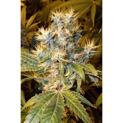 Nepalma is een sterke hashplant met hoge opbrengst en sativa eigenschappen