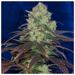 Pineapple from Dynasty seeds main bud with coloured leafs created by Professor P