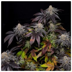Salmon River Og in full size with coloured leaves and strong smelling buds of Kush and berries