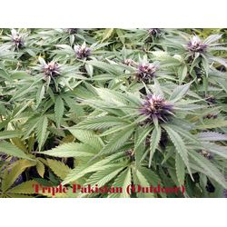 Triple Pakistan is a landrace strain  that grows low and has a short flowering period