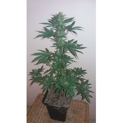 Turkish landrace from USC seeds for a hash flavour and large buds
